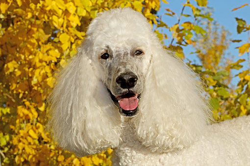 DOG 05 DB0014 01 © Kimball Stock Poodle Portrait By Autumn Trees