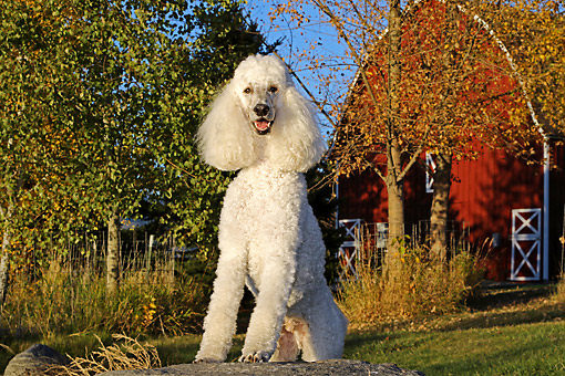 DOG 05 DB0015 01 © Kimball Stock Poodle Sitting By Trees