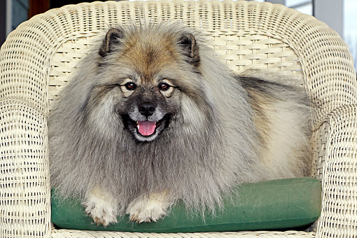 DOG 05 DB0017 01 © Kimball Stock Keeshond Laying In Chair