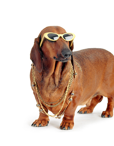 DOG 05 DC0024 01 © Kimball Stock Humorous Dachshund Wearing Glasses And Necklace White Background