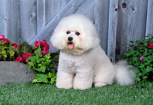 DOG 05 FA0019 01 © Kimball Stock Bichon Frise On Grass In Front Of Wooden Doors