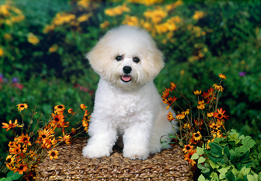 DOG 05 FA0020 01 © Kimball Stock Bichon Frise Puppy Sitting On Basket With Flowers.
