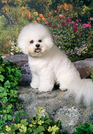 DOG 05 FA0030 01 © Kimball Stock Bichon Frise Sitting On Rock In Garden