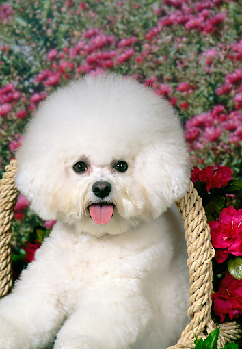 DOG 05 FA0032 01 © Kimball Stock Bichon Frise Sitting In Basket In Garden
