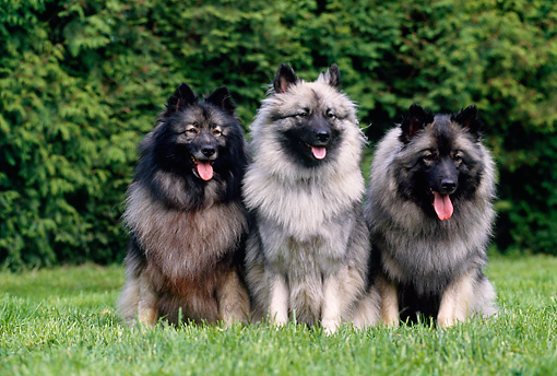 DOG 05 GL0001 01 © Kimball Stock Three Spitz Wolf Dogs Sitting On Lawn