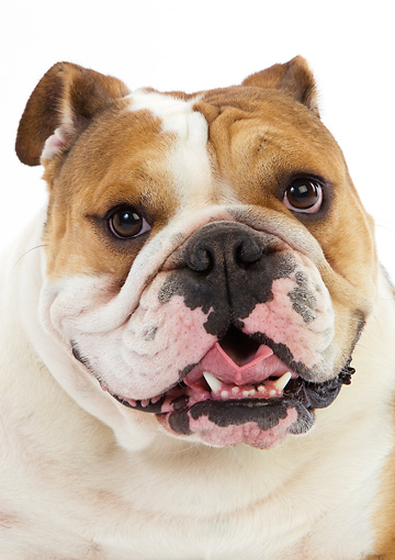 DOG 05 GL0002 01 © Kimball Stock Head Shot Of English Bulldog Female On White Seamless