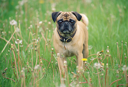 DOG 05 GR0008 01 © Kimball Stock Pug Standing In Field Of Dandelions