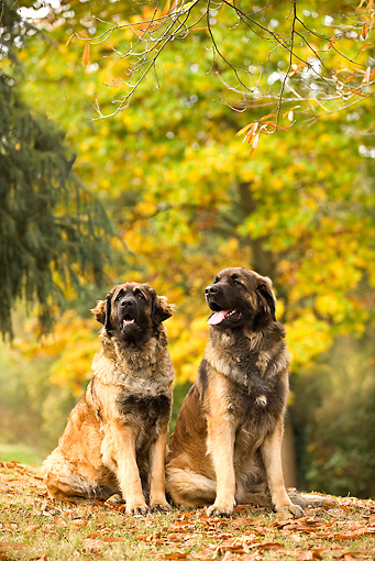 DOG 05 JE0003 01 © Kimball Stock Two Leonbergers Sitting On Fallen Leaves