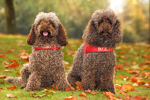 DOG 05 JE0004 01 © Kimball Stock Two Poodles Sitting On Grass And Fallen Leaves