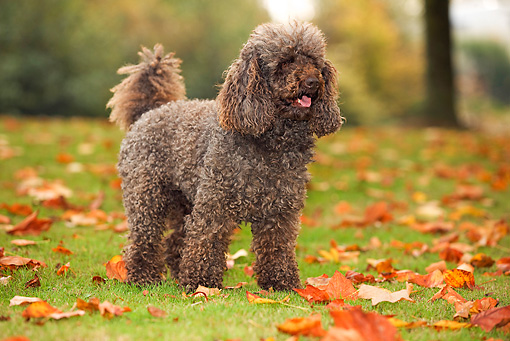DOG 05 JE0005 01 © Kimball Stock Poodle Standing On Grass And Fallen Leaves
