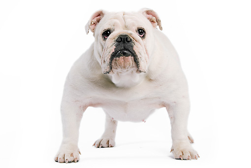 DOG 05 JE0009 01 © Kimball Stock English Bulldog Standing On White Seamless