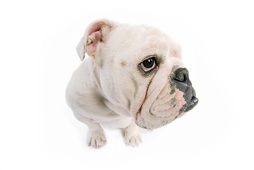 DOG 05 JE0013 01 © Kimball Stock Close-Up Of English Bulldog Sitting On White Seamless