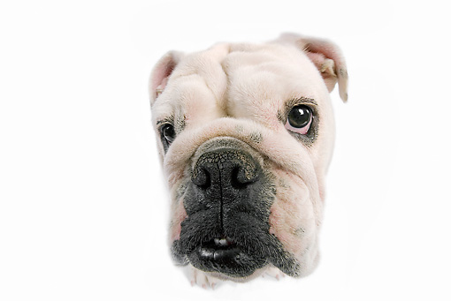 DOG 05 JE0014 01 © Kimball Stock Close-Up Of English Bulldog Sitting On White Seamless