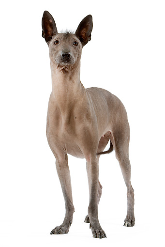 DOG 05 JE0029 01 © Kimball Stock Mexican Hairless Dog Standing On White Seamless