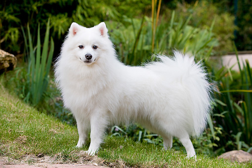 DOG 05 JE0034 01 © Kimball Stock Japanese Spitz Standing On Grass Profile