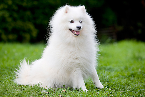 DOG 05 JE0035 01 © Kimball Stock Japanese Spitz Sitting On Grass