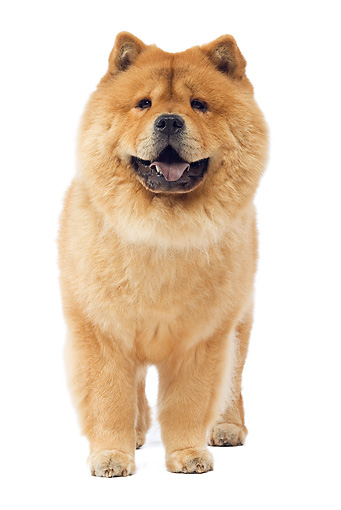 DOG 05 JE0040 01 © Kimball Stock Chow Chow Standing On White Seamless