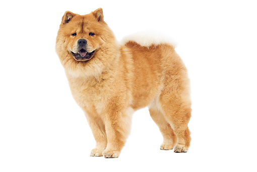 DOG 05 JE0041 01 © Kimball Stock Chow Chow Standing On White Seamless