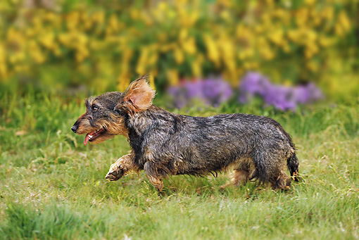 DOG 05 JE0042 01 © Kimball Stock Wirehaired Dachshund Running On Lawn Profile