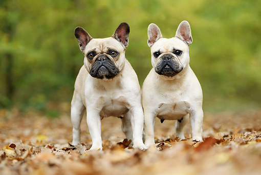 DOG 05 JE0048 01 © Kimball Stock Two French Bulldogs Standing In Fallen Leaves
