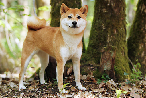 DOG 05 JE0053 01 © Kimball Stock Shiba Inu Standing On Dirt And Fallen Leaves