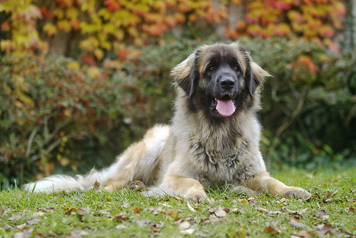 DOG 05 JE0055 01 © Kimball Stock Leonberger Resting On Grass