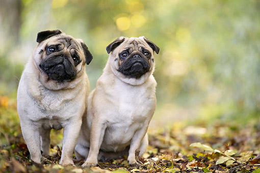 DOG 05 JE0069 01 © Kimball Stock Pugs Standing In Leaves