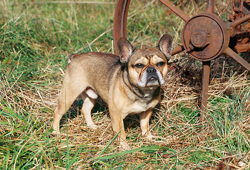 DOG 05 JN0001 01 © Kimball Stock French Bulldog Standing On Grass By Old Rusty Wheel