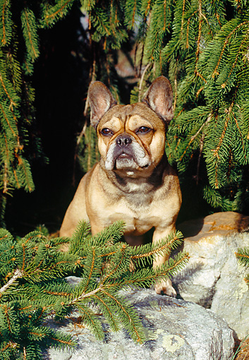 DOG 05 JN0003 01 © Kimball Stock French Bulldog Sitting On Rocks By Pine Tree