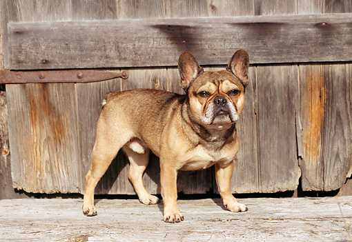 DOG 05 JN0004 01 © Kimball Stock French Bulldog Standing By Wooden Gate