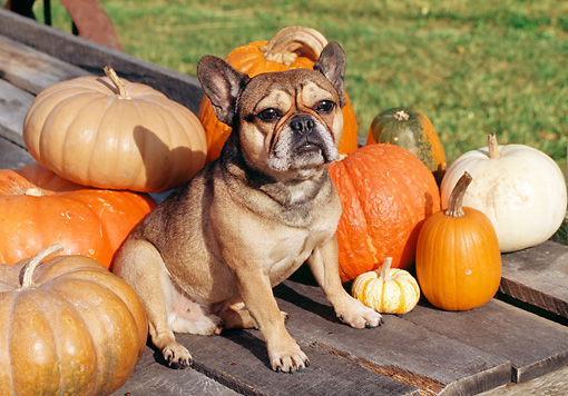 DOG 05 JN0006 01 © Kimball Stock French Bulldog Sitting By Pumpkins And Gourds