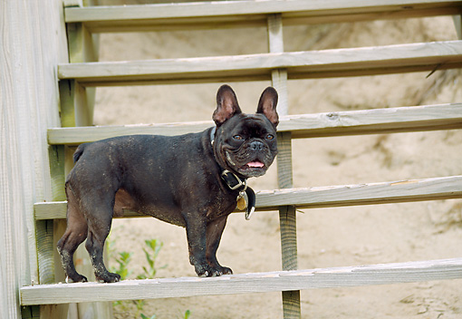 DOG 05 JN0011 01 © Kimball Stock French Bulldog Standing On Steps At Beach