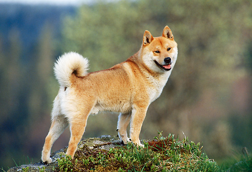 DOG 05 KH0022 01 © Kimball Stock Shiba Inu Standing On Rock Profile