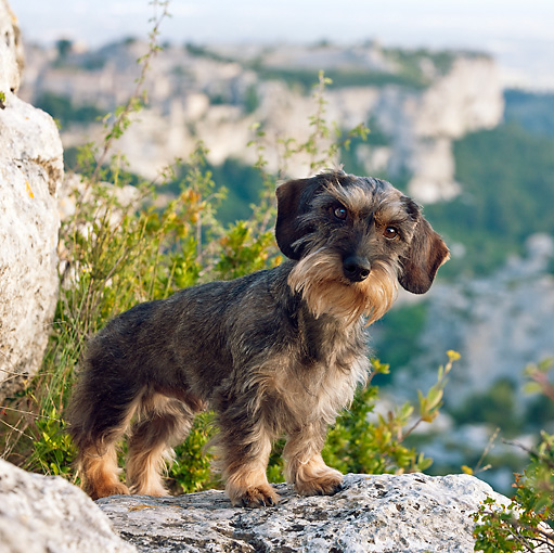DOG 05 KH0023 01 © Kimball Stock Wirehaired Dachshund Standing On Limestone Rock Regional Natural Park Of The Alpilles, France
