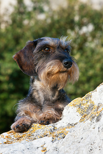 DOG 05 KH0024 01 © Kimball Stock Wirehaired Dachshund Laying On Limestone Rock Regional Natural Park Of The Alpilles, France