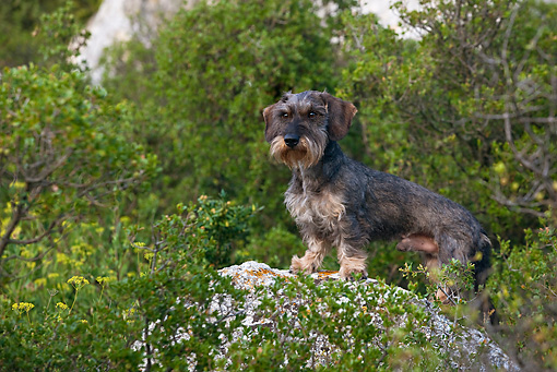 DOG 05 KH0028 01 © Kimball Stock Wirehaired Dachshund Standing On Rock Regional Natural Park Of The Alpilles, France