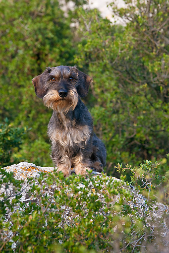 DOG 05 KH0029 01 © Kimball Stock Wirehaired Dachshund Standing On Rock Regional Natural Park Of The Alpilles, France