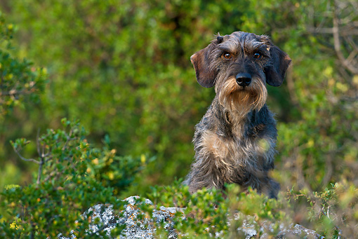 DOG 05 KH0030 01 © Kimball Stock Wirehaired Dachshund Sitting On Rock Regional Natural Park Of The Alpilles, France