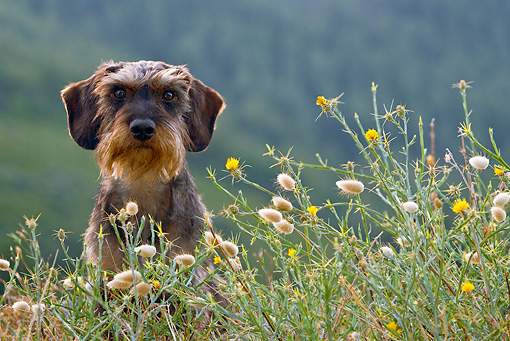 DOG 05 KH0031 01 © Kimball Stock Wirehaired Dachshund Sitting In Grass Regional Natural Park Of The Alpilles, France