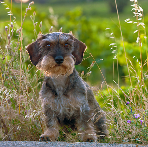 DOG 05 KH0032 01 © Kimball Stock Wirehaired Dachshund Standing In Wild Oats Along Road Vaucluse, France