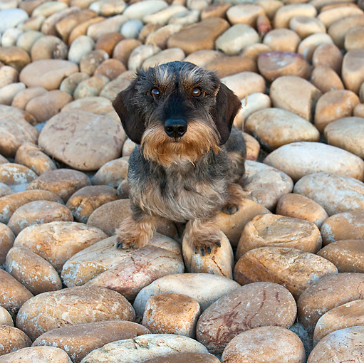 DOG 05 KH0034 01 © Kimball Stock Wirehaired Dachshund Sitting On Stones Vaucluse, France