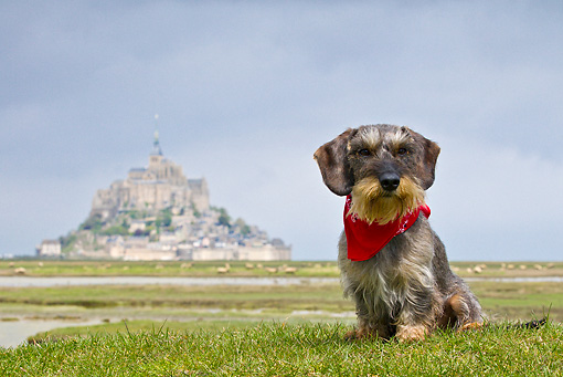DOG 05 KH0035 01 © Kimball Stock Wirehaired Dachshund With Bandana Sitting In Front Of Mont Saint-Michel In Normandy, France