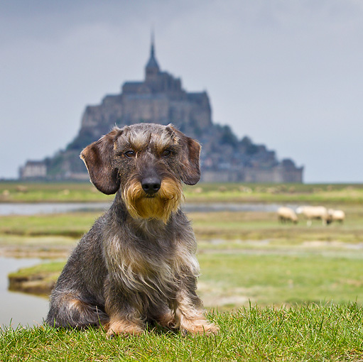 DOG 05 KH0036 01 © Kimball Stock Wirehaired Dachshund Sitting In Front Of Mont Saint-Michel In Normandy, France
