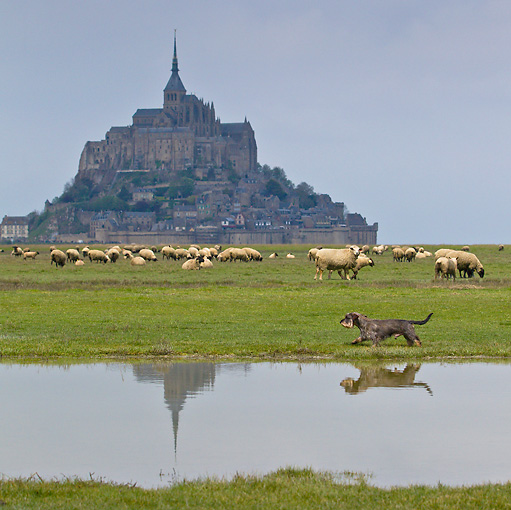 DOG 05 KH0039 01 © Kimball Stock Wirehaired Dachshund Running By Grevine Sheep And Mont Saint-Michel In Normandy, France