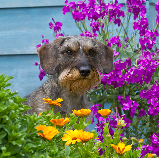 DOG 05 KH0041 01 © Kimball Stock Wirehaired Dachshund Sitting In Spring Garden By House In Brittany, France