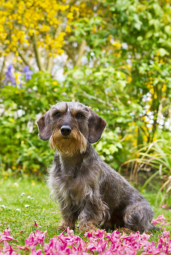 DOG 05 KH0042 01 © Kimball Stock Wirehaired Dachshund Sitting By Flower Petals In Spring Garden In Brittany, France