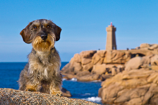 DOG 05 KH0043 01 © Kimball Stock Wirehaired Dachshund Sitting In Front Of Ploumanac'h Lighthouse In Brittany, France