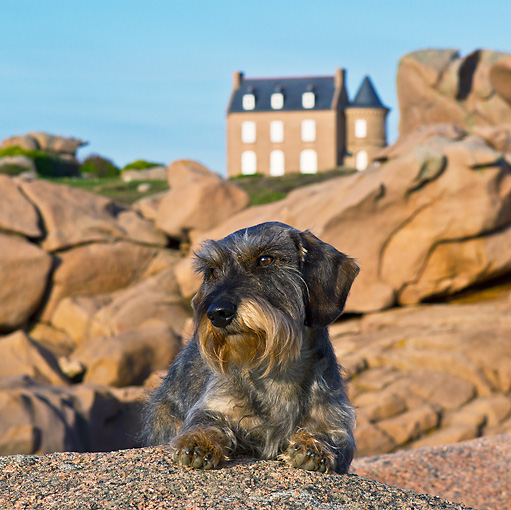 DOG 05 KH0044 01 © Kimball Stock Wirehaired Dachshund Laying On Rock In Front Of Men Ru Lighthouse In Brittany, France