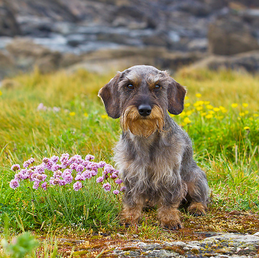 DOG 05 KH0048 01 © Kimball Stock Wirehaired Dachshund Sitting By Pink And Yellow Flowers In Brittany, France