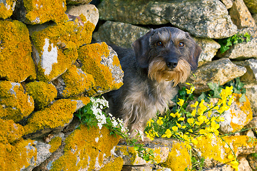 DOG 05 KH0049 01 © Kimball Stock Wirehaired Dachshund Sitting In Stone Wall With Yellow Lichens In Brittany, France
